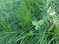 Achillea millefolium 3 - Putney Heath Common 2011.08.02.jpg