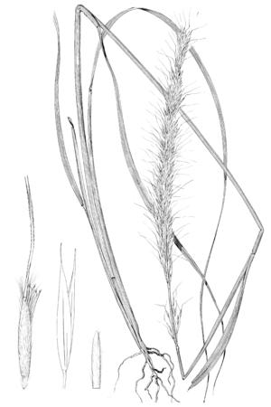 Achnatherum robustum - Line drawing of Achnatherum robustum from Lamson-Scribner's American grasses (illustrated), 1899