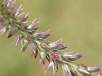 Achyranthes aspera0