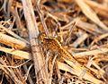 Acisoma variegatum 018272-1.jpg