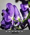 Aconitum variegatum subsp. variegatum sl20.jpg