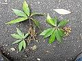 Actinodaphne bourdillonii Andiparai DSCN0468.JPG