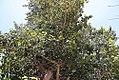 Adina cordifolia 6zz.jpg