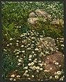 Adirondack mountain wild flowers-LCCN2008679641.jpg