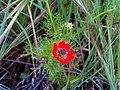 Adonis annua subsp. castellana FlowerLeavesFruits 19April2009 CampodeCalatrava.jpg