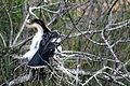Adult Male Anhinga and chick (2), NPSPhoto, R. Cammauf (9099330359).jpg