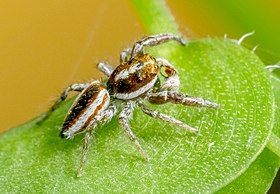 Afraflacilla-sp-nov-whyte-A-Field-Guide-to-Spiders-of-Australia.jpg