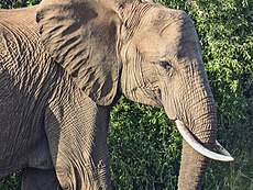 African Elephant by thesaint.jpg