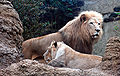 African Lion Panthera leo krugeri Male and Female 2200px adjusted.jpg