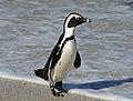 African Penguin RWD.jpg