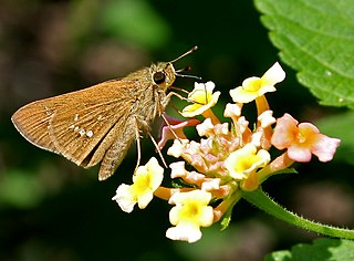 <i>Parnara</i> genus of insects