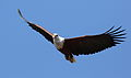 African fish eagle, Haliaeetus vocifer, at Lake Chivero, Harare, Zimbabwe (21313291203).jpg