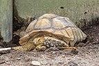 African spurred tortoise (Centrochelys sulcata), Gembira Loka Zoo, 2015-03-15.jpg