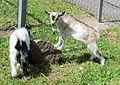 Afrikansk dvärgget (killingar) i Mössebergs djurpark 2600.jpg