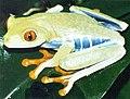 Agalychnis callidryas01.jpg