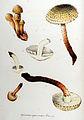 Agaricus squarrosus — Flora Batava — Volume v10.jpg