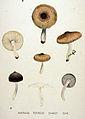 Agaricus terreus — Flora Batava — Volume v20.jpg