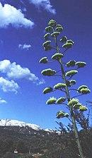 floraison monocarpique de l'agave du Mexique