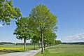 Ahornallee entlang der LH 61 bei Guttenbrunn 2014-05 NÖ-Naturdenkmal GD-098.jpg