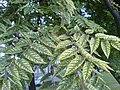 Ailanthus-altissima-aucubaefolia1.jpg
