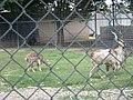 Alameda Park Zoo Markhor goats.jpg