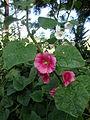 Alcea rosea (5).JPG
