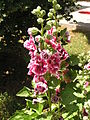 Alcea rosea in Sedovo 1.jpg