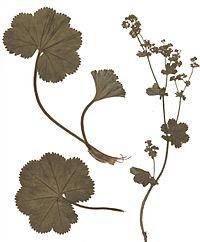 Alchemilla filicaulis Herbar
