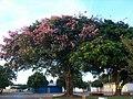 Alexania GO Brasil - Paineira Florida - panoramio.jpg