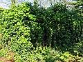 All Hallows Church Tottenham London England - churchyard overgrown tomb fence 1.jpg