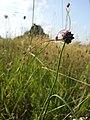 Allium carinatum subsp. carinatum sl13.jpg
