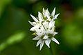 Allium ursinum (7088469987).jpg