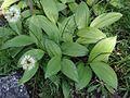 Allium victorialis OB 10.jpg