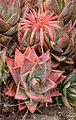 Aloe mitriformis 2.jpg