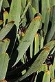 Aloe plicatilis, Victoria Esplanade Park (4).jpg