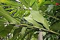 Alpinia purpurata 52zz.jpg