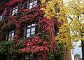 Altes Haus mit Wildem Wein und Efeu.JPG