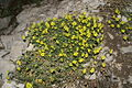 Alyssum montanum PID1009-1.jpg