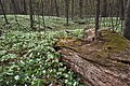 Aman Park (Kent County, Michigan) trillium display May 6, 2018.jpg