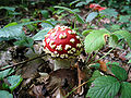Amanita muscaria JPG1.jpg