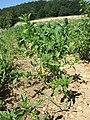 Amaranthus albus sl52.jpg