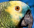 Amazona aestiva -pet -head-8 (1).jpg