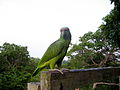 Amazona festiva -Amazon Jungle-4.jpg