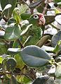Amazona vittata -Iguaca Aviary, Puerto Rica-8a (1).jpg