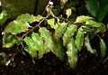 Amborella trichopoda 3.jpg