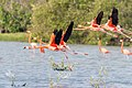 American Flamingo - Flamenco (Phoenicopterus ruber) (15425087204) (2).jpg