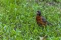 American Robin (44200733681).jpg