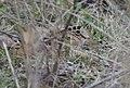 American Woodcock (33268916546).jpg