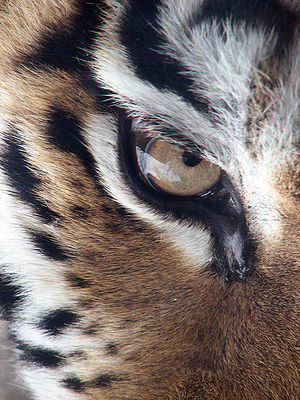 A photograph of the right eye of an Amur Tiger...