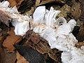 An unusual twig on a woodland floor - geograph.org.uk - 1723199.jpg